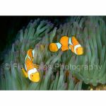 D02-13: Percula Clown Anemonefish
