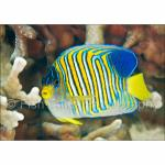 PH10-M1118: Regal Angelfish