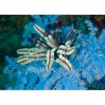 SU06-M0590: Feather Star on Soft Coral Sulawesi Sea8