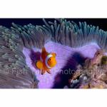 IJ04-C0090: False Clown Anemonefish Irian Jaya