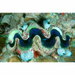 MD03-0475: Giant Clam and Tunicates Republic of Maldives
