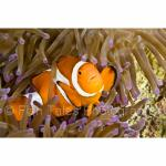 PH10-M0247: False Clown Anemonefish Balicasag Island, Philippines