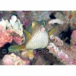 SU06-C1226: Boxfish Sulawesi Sea