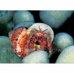 Q04-11: Hermit Crab in Tapestry Turban Shell SE Sulawesi, Indonesia