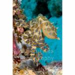 PP07-M1647: Blue-ringed Octopus Papua
