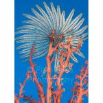 SU06-M0610: Feather Star Sulawesi Sea