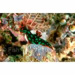 SI00-0054: Nudibranch Solomon Islands