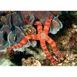 KM03-C0775: Sea Star Komodo Island, Indonesia