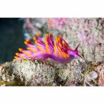 PNG05-C2073: Nudibranch Papua New Guinea