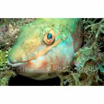 A09-14: Parrotfish St Kitts