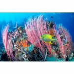 PNG99-0082: Damselfish in Pink Whip Coral Papua New Guinea