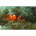 SU06-M1643: Spinecheek Anemonefish Sulawesi Sea