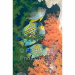 WK04-M0845: Damselfish & Regal Angelfish SE. Sulawesi, Indonesia