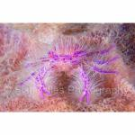 IJ04-M1569: Hairy Squat Lobster Alor, Indonesia