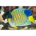 PH10-M1118: Regal Angelfish Philippines